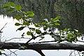 Grey Alder (Alnus incana) - Oslo, Norway 2020-08-30.jpg