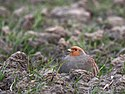 Grey Partridge, Renesse, Netherlands.jpg