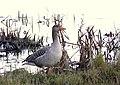 Greylag Goose at RSPB Leighton Moss - geograph.org.uk - 638480.jpg