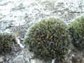 Grimmia pulvinata 2.jpg
