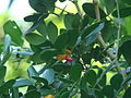 Guaiacum sanctum-fruta-jose.JPG