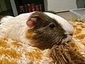 Guinea pig on pillow.jpg