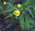 Gulveis - Yellow anemone (2455448146).jpg