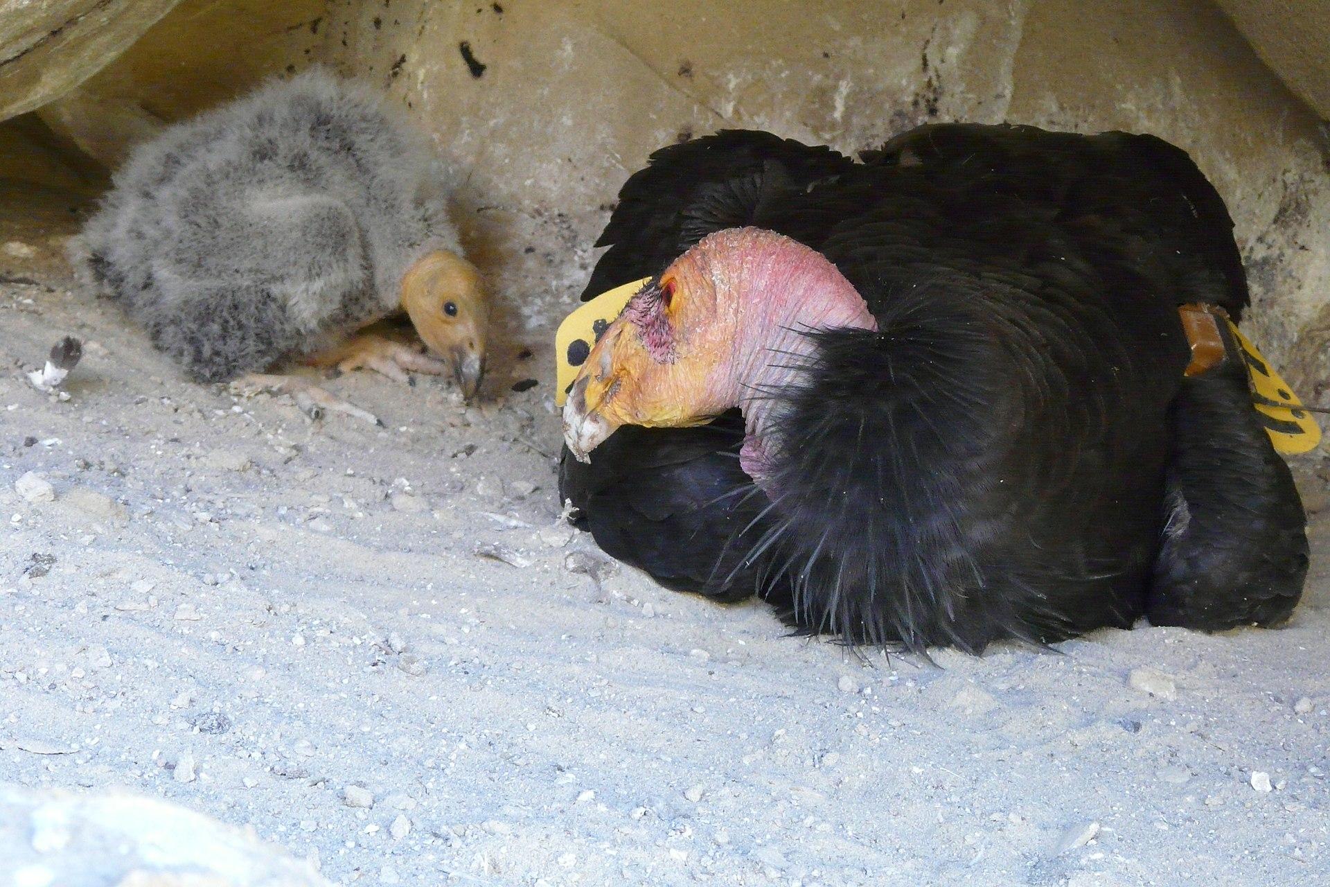California condor (source: Wikipedia)