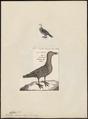 Gyps indicus - 1700-1880 - Print - Iconographia Zoologica - Special Collections University of Amsterdam - UBA01 IZ18100081.tif