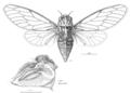 HEMI Cicadidae Kikihia.png