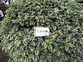 HK 元朗公園 Yuen Long Park 38 花葉連翹 Duranta Plumieri.jpg