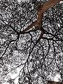 HK CWB 銅鑼灣 Causeway Bay 摩頓台 Moreton Terrace tree April 2021 SS2 03.jpg