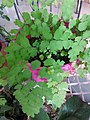 HK Mid-levels High Street clubhouse green leaves plant February 2019 SSG 83.jpg