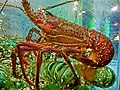 HK Sheung Wan Foo Lum Seafood Restaurant - fish water pool 龍蝦 Lobster Apr-2014 002.JPG