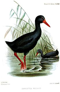Invisible rail A large flightless bird endemic to Indonesia