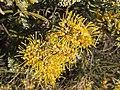 Hakea macrocarpa flowers.jpg