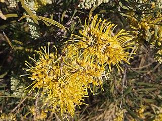 <i>Hakea macrocarpa</i> species of plant