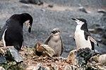 Half Moon Island, Antarctica. Chinstrap Penguin (24914200356).jpg