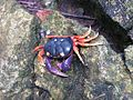 Halloween crab Gecarcinus quadratus (8039304821).jpg