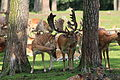 Haltern - Naturwildpark Granat - Dama dama dama 93 ies.jpg
