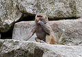 Hamadríade (Papio hamadryas), Tierpark Hellabrunn, Múnich, Alemania, 2012-06-17, DD 12.JPG