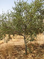 10-year old hanza tree. Location: Zinder, Republic of Niger