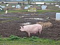 Happy as a Pig in Muck - geograph.org.uk - 348489.jpg