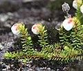 Harrimanella stelleriana s3.jpg