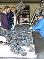 Harvested grapes loaded onto sorting table in Bordeaux.jpg