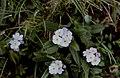 Hautes-Alpes Arvieux Col Du Lauzon Fleurs 071986 - panoramio (12).jpg