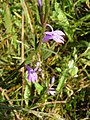 Heath Lobelia at Andrew's Wood - geograph.org.uk - 242441.jpg