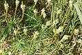 Hebenstretia integrifolia-2484 - Flickr - Ragnhild & Neil Crawford.jpg