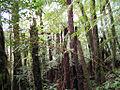 Helechos arbóreos cerca de Samaipata Bolivia.jpg