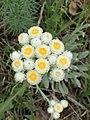 Helichrysum amorginum kz01.jpg