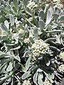 Helichrysum gossypinum kz4.JPG
