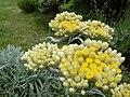 Helichrysum orientale 2.JPG