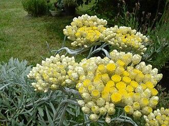 Helichrysum - Image: Helichrysum orientale 2