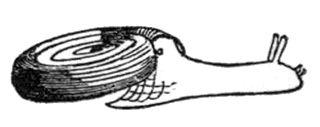 <i>Helicodiscus</i> genus of molluscs