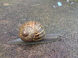 Helix aspersa, Richmond Park.jpg