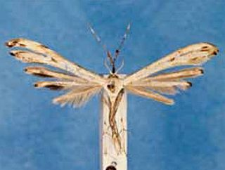 <i>Hellinsia glochinias</i> Species of plume moth
