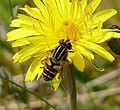 Helophilus pendulus. Female - Flickr - gailhampshire (2).jpg