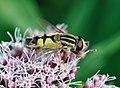 Helophilus trivittatus qtl1.jpg