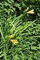 Hemerocallis dumortieri var. esculenta 02.jpg