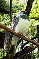 Hemiphaga novaeseelandiae 01.jpg