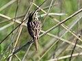 Henslow's Sparrow (34632783180).jpg