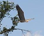 Heron (27804189905).jpg