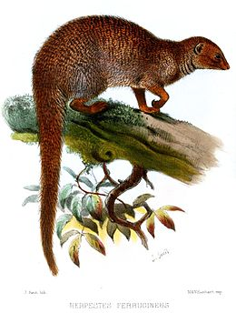 H. e. furrugineus