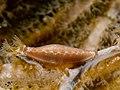 Hiatovula brunneiterma (Cowry).jpg