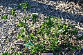 Hibiscus fragilis 9zz.jpg