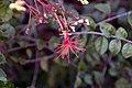 Hibiscus grandidieri greveanus 2zz.jpg