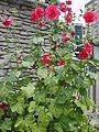Hibiscus mutabilis 3.JPG