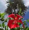 Hibiscus palm.jpg