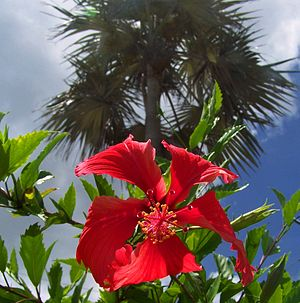 Grand Cayman - Hibiscus and palm tree on Grand Cayman Island