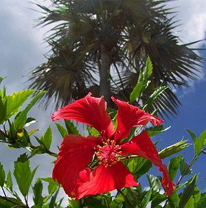 Grand Cayman - Hibiscus and palm tree on Grand Cayman Island